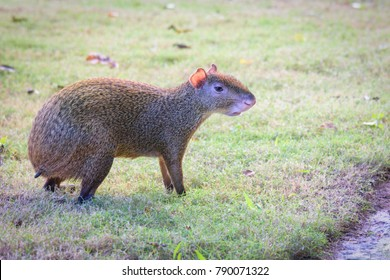 Agouti agoutis or Sereque rodent on green grass. Rodents of the Caribbean.