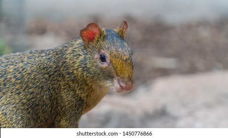 Agouti, aguti or common agouti, Dasyprocta, family of the Dasyproctidae, a rodent with brown fur,