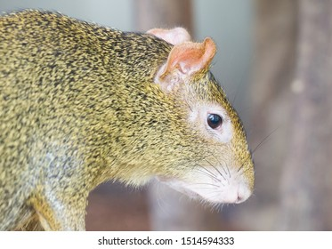 Agouti, aguti or common agouti, Dasyprocta, family of the Dasyproctidae, a rodent with brown fur
