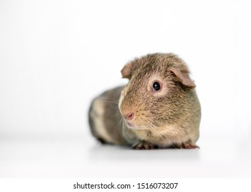 An agouti American Guinea Pig on a white background