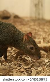 Agouti in brown grass Animal
