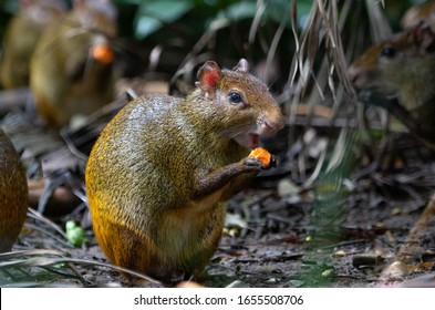 An Agouti (Dasyprocta azarae) eating a little coconut.