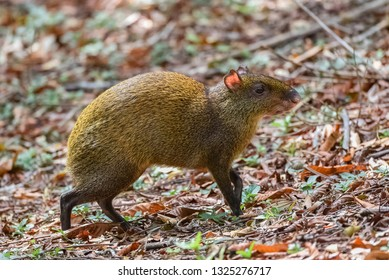 Agouti, Dasyprocta punctata, animal in the forest in Costa Rica