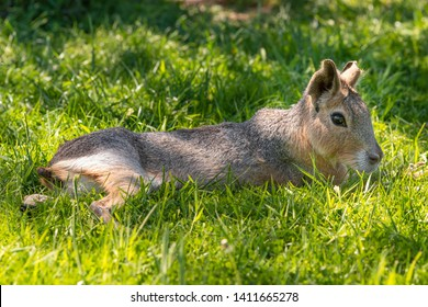 Agouti Laying in the Shade on Grass and relaxing