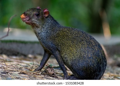 Agouti in its natural ecosystem