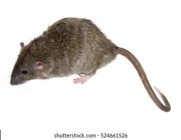 Agouti rat isolated on white background.