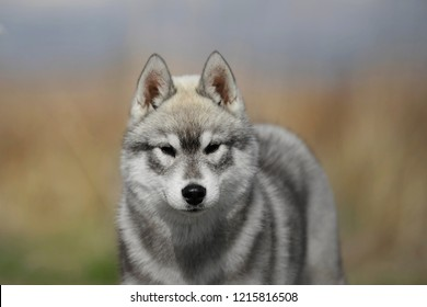 Agouti siberian husky puppies