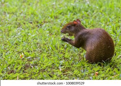 Agouti sitting in a field