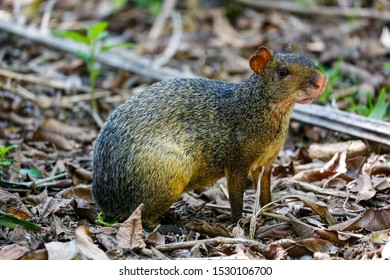 Agouti, small rodent, sitting on forest ground in Pantanal Wetlands, Mato Grosso, Brazil