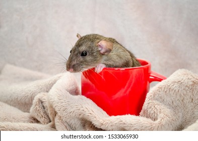 Agouti standard dumbo gray rat, with funny ears sits in red cup on light fluffy fabric, symbol of new year 2020, with copyspace
