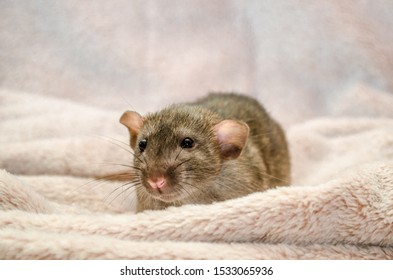Agouti standard dumbo gray rat, with funny ears, sits and hiding on fluffy soft cozy light fabric, symbol of the new year 2020, with copyspace