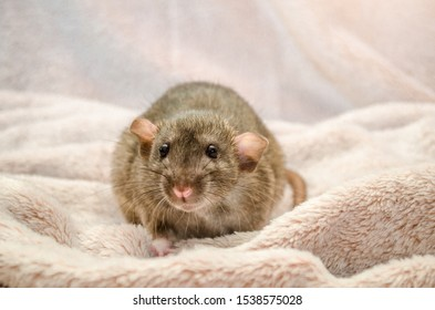 Agouti standard dumbo gray rat, with funny ears, sits on fluffy soft cozy light fabric, symbol of the new year 2020, with copyspace