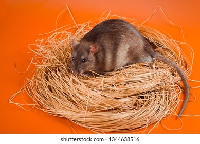 Agouti-colored fansy rat sits in a nest of straw on a bright orange background