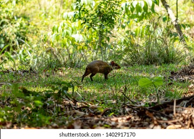 Agoutis (Genus Dasyprocta) running on the lawn