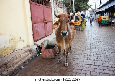 Agra, India – February 15 2019: A skinny cow walks down the street looking for food in Agra. In India, cows are holy animals.