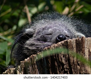 Agrate Conturbia (NO) Italy, 03/30/2019: binturong sleeping on tree trunk