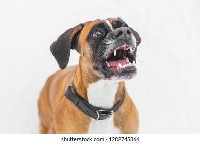 Agressive dog sitting on the snow. Brown pedigreed dog. Boxer