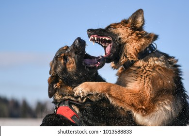 Agressive dogs. Dog attack. Dog fight. German shepherd with open mouth.
