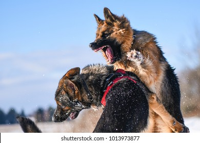Agressive dogs. Dog attack. Dog fight. German shepherd in winter