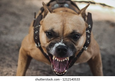 Agressive red staffordshire terrier