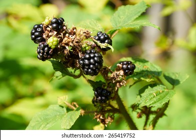 agrestic blackberries growing on the bush in forest