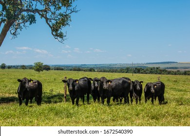 Agribusiness - Brangus Black Cattle, in natural pasture, Angus cattle, highly genetic bulls in Brazil - Livestock