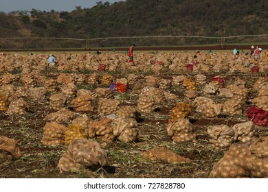agribusiness plantations, hortifruti farms and onion crops and other foods