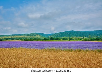 Agricultural Area of Lavender and Wheat Fields in Bulgaria