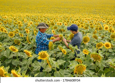 Agricultural business concept. Two farmers in sunflowers field controlling health of plant, Agronomists inspecting sunflower plant growing in the farm field.