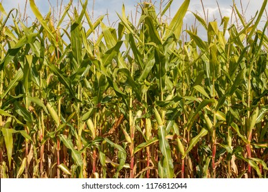 Agricultural cultivation. Cornfield.