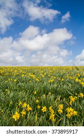 An agricultural daffodil field under a blue sky with white clouds. Portrait orientation.