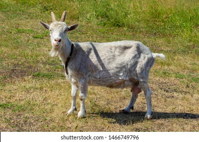 An agricultural dairy animal a white goat with horns abounds in the countryside. A goat with a collar grazing in a meadow eats grass. Goat chewing grass shows teeth. Whole goat, white shorn wool