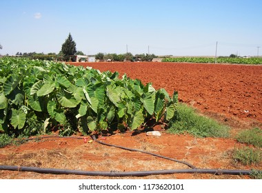 Agricultural farmland with young banana plantation in Cyprus