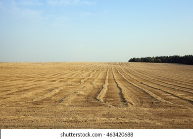 agricultural field with beveled wheat after harvesting cereal crops, small depth of field