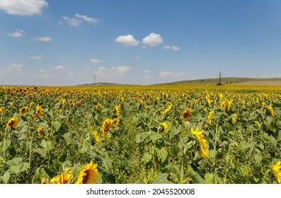 Agricultural field of blooming sunflowers. Panoramic view. Natural flowering background with blue sky.