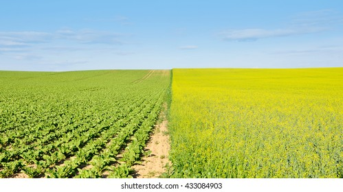 Agricultural field divided in half with the sowing of fodder plants. Rows of green seedlings and blooming rapeseed in perspective.