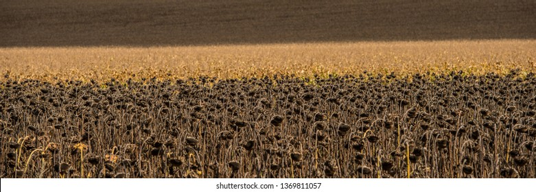 Agricultural field of dry sunflowers and corn on a sunny day. Web banner. Summer season.