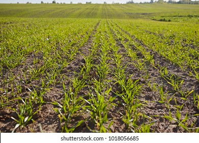 Agricultural field with germination young sprouts of plants, on a moist land with dark soil, vibrant colors at morning. Arable land in the spring, ready for the sowing season. Close-up of green grass