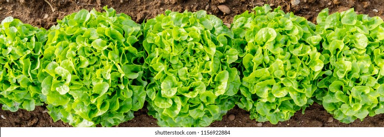 Agricultural field with Green leaf lettuce on garden bed in vegetable field.  Gardening  background with lettuce green plants, top view banner