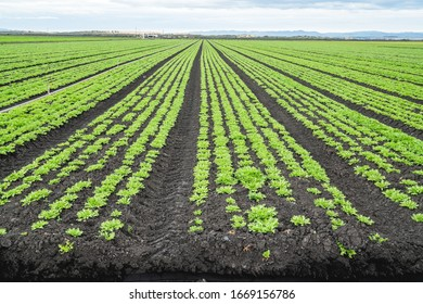 Agricultural field with long converging rows of young celery plants, Santa Barbara County, California