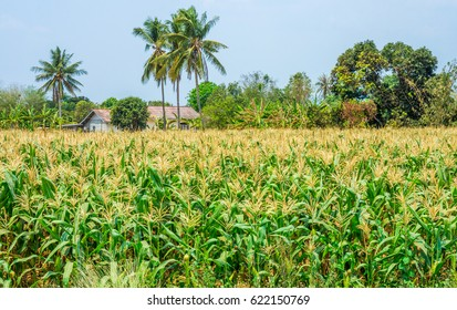 Agricultural field of mature maize nearby house. It is in Thailand, Southeast Asia.