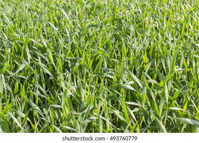 Agricultural field on which grow immature young wheat.