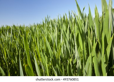 Agricultural field on which grow immature young cereals -wheat. Blue sky in the background