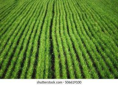 Agricultural field on which grow the young grass
