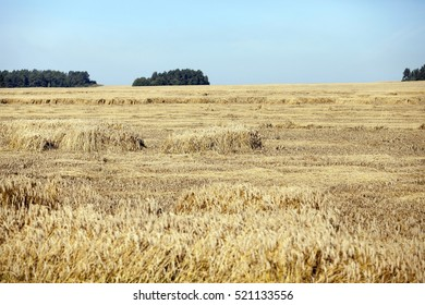Agricultural field on which grow yellowed ripe wheat, on the tree grows