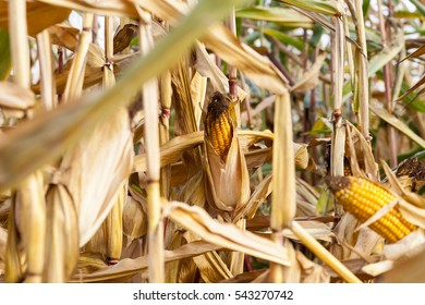 Agricultural field on which grow and change the color of ripe corn. Photo taken closeup with a small depth of field. Autumn season.