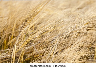Agricultural field on which grow ripe yellow wheat ready for harvest. The photo was taken close up with small depths
