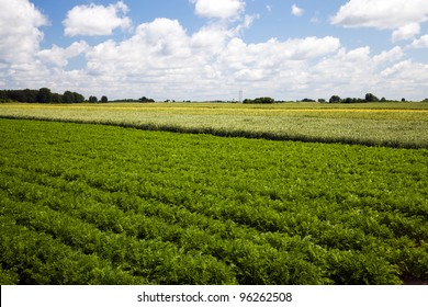 Agricultural field on which grow up carrots. On a back background it is visible wires from electric columns