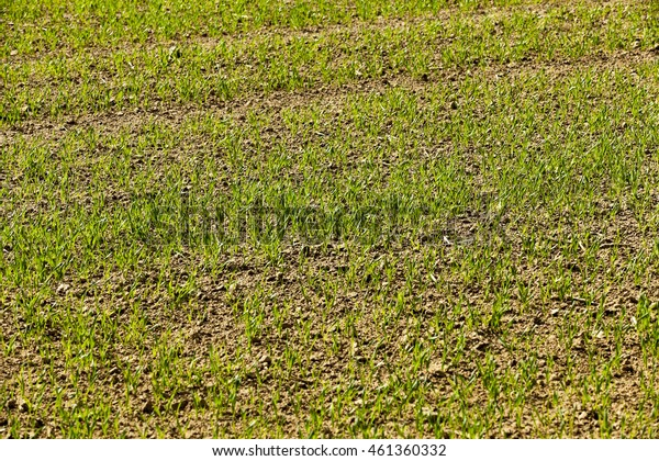 Agricultural field on which grow the young wheat grass