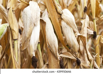 Agricultural field on which photographed mature yellowed corn, close up, natural foods